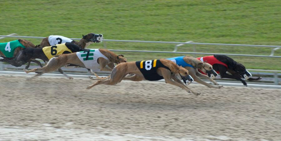 Greyhound Racing – Best Sports Betting